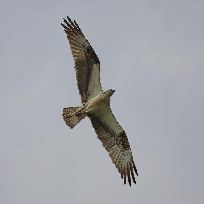 Hawk in flight.