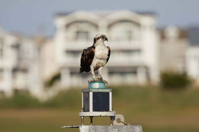 Osprey on top of channel marker.