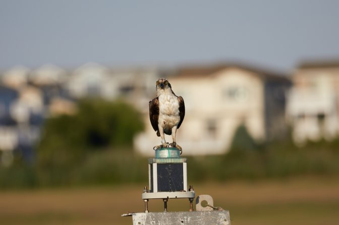 Osprey on channel marker, staring straight ahead.