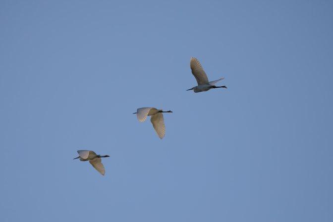 Three egrets in flight.