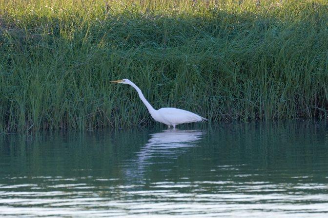 Egret wading in bay near shore.