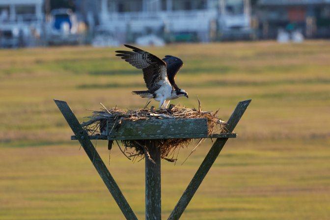 Osprey in nest.
