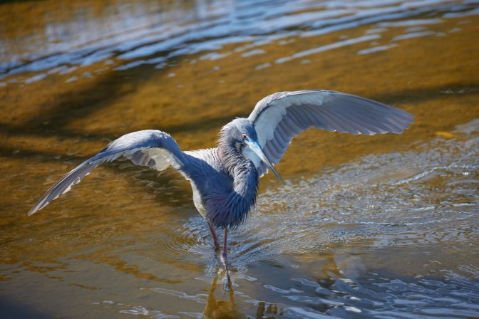 Tri-colored heron with wings outstretched.