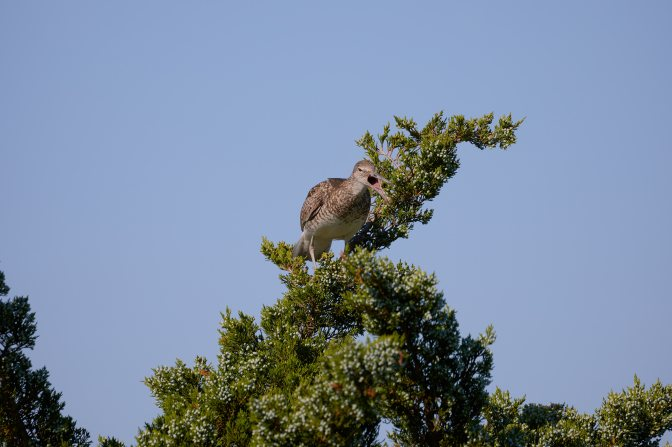 Short-billed dowitcher on top of tree.