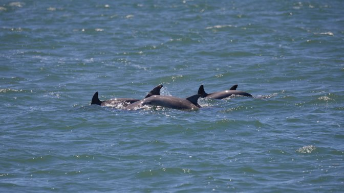 Pod of dolphin swimming.