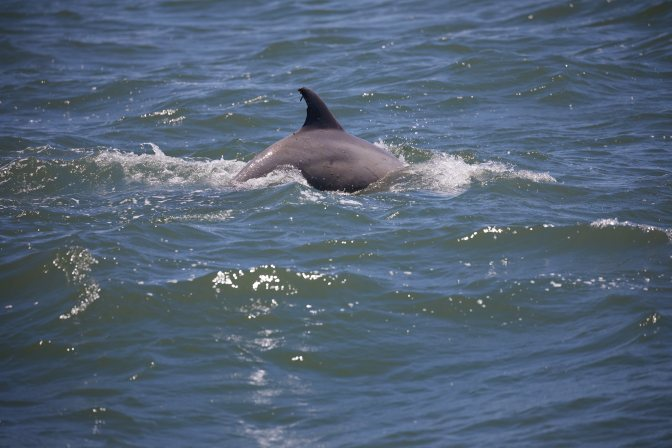 Dolphin breaching surface.