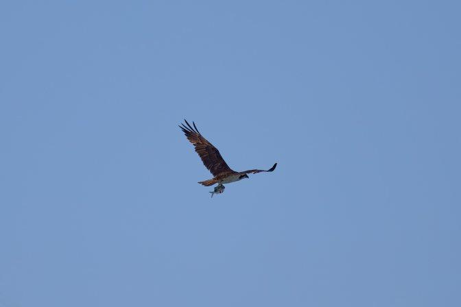 Osprey in flight, carrying fish.
