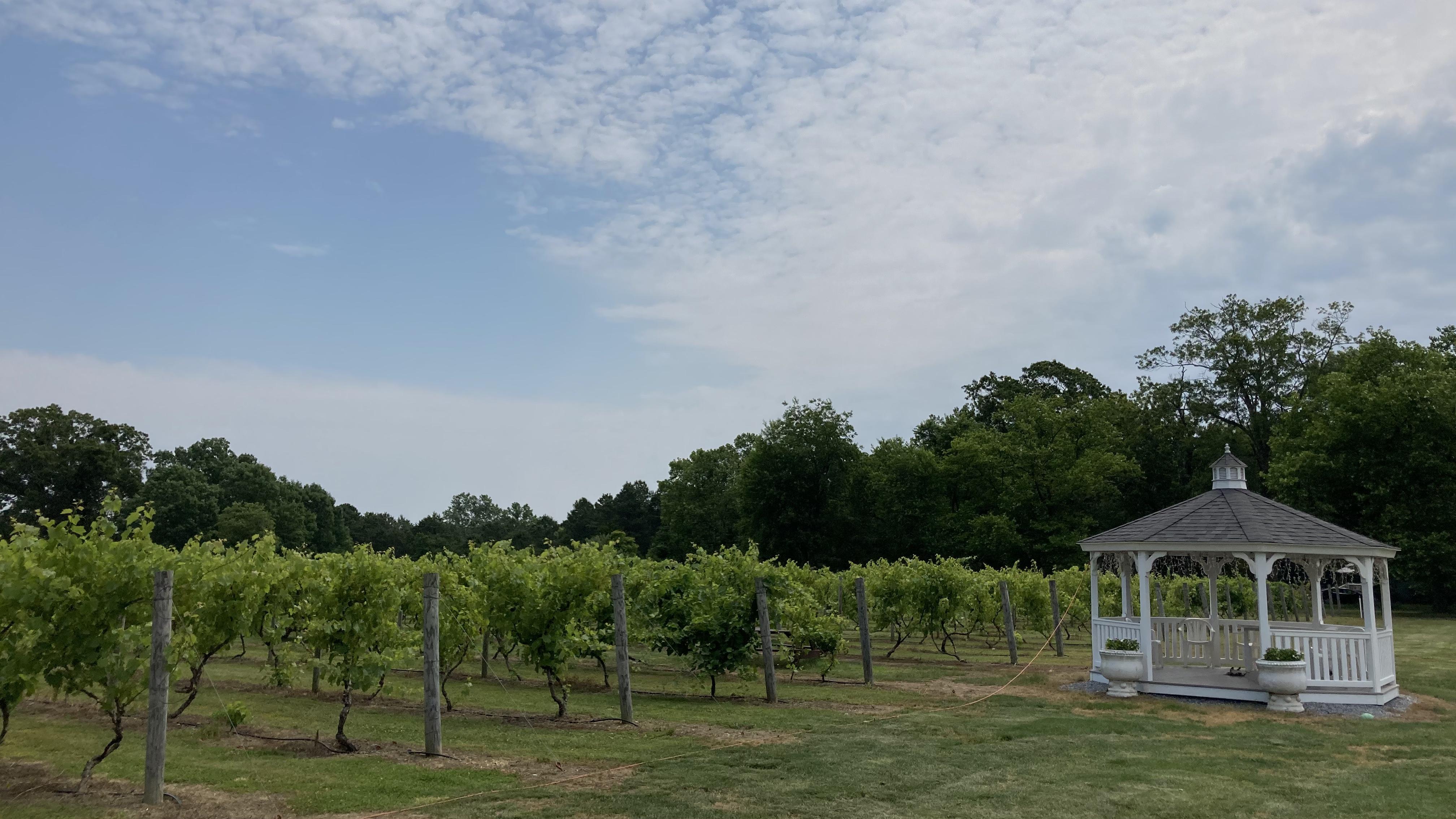 Vineyard with small white gazebo.
