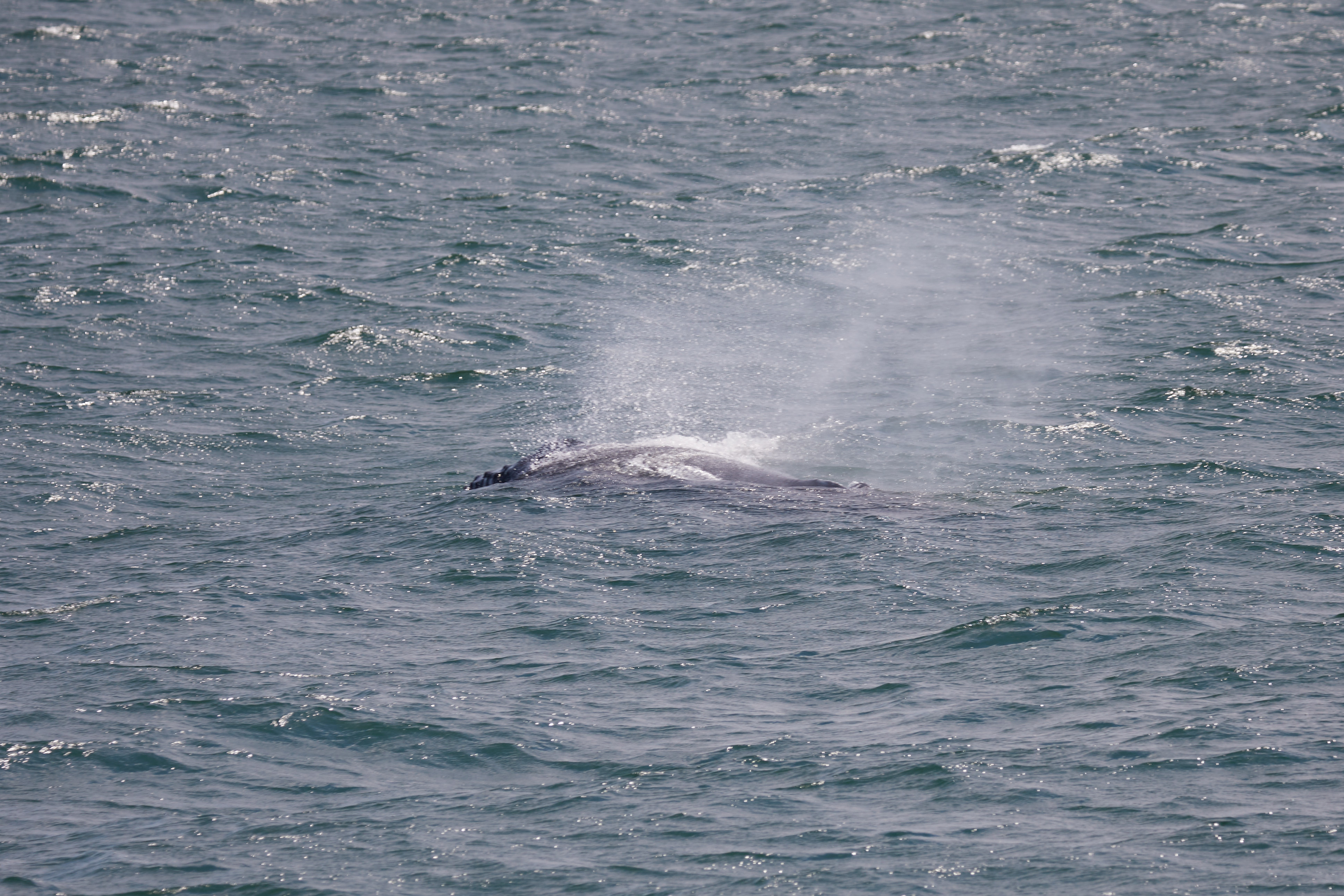 Whale spouting water.