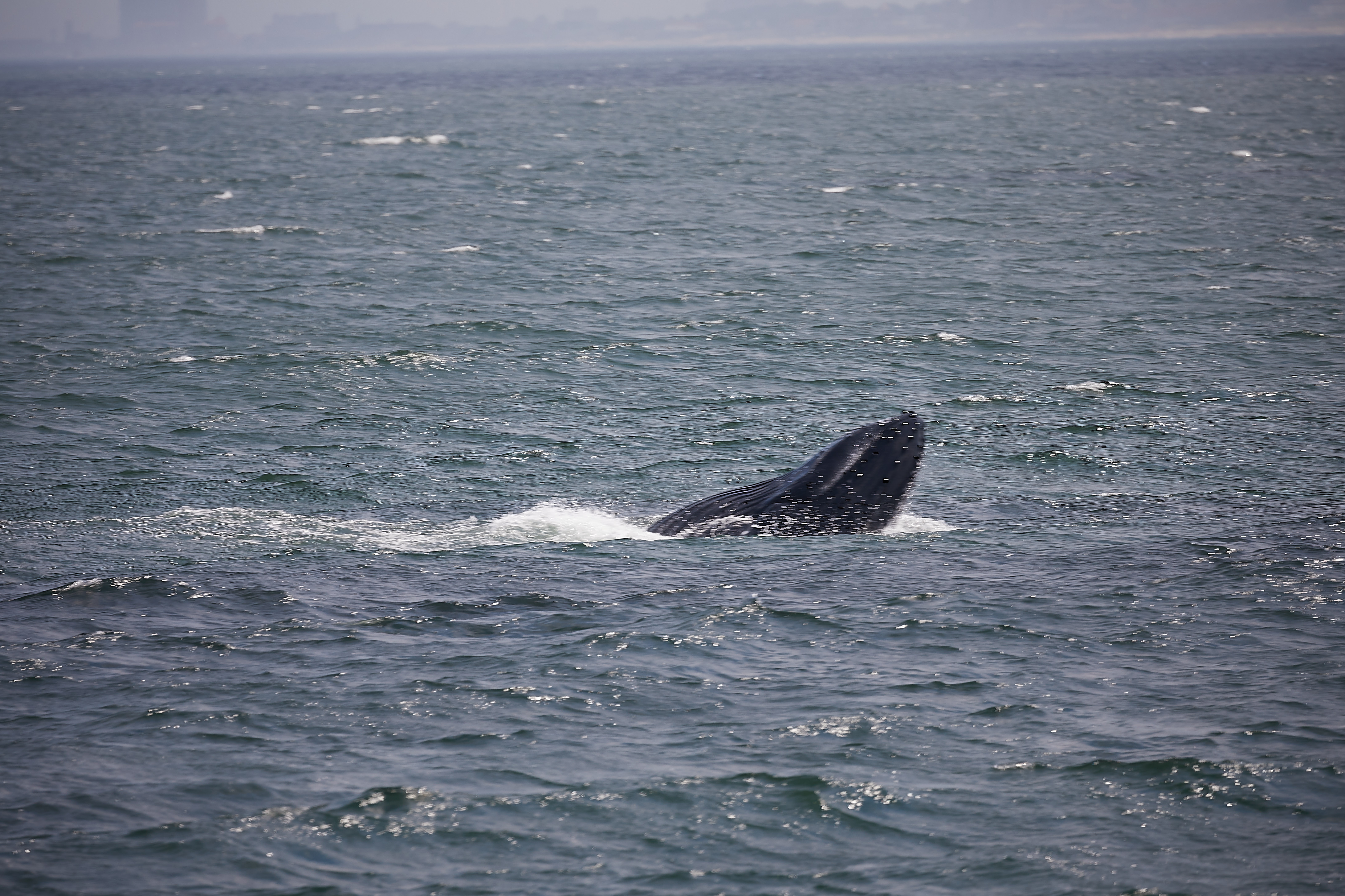 Juvenile humpback whale broaching the surface.