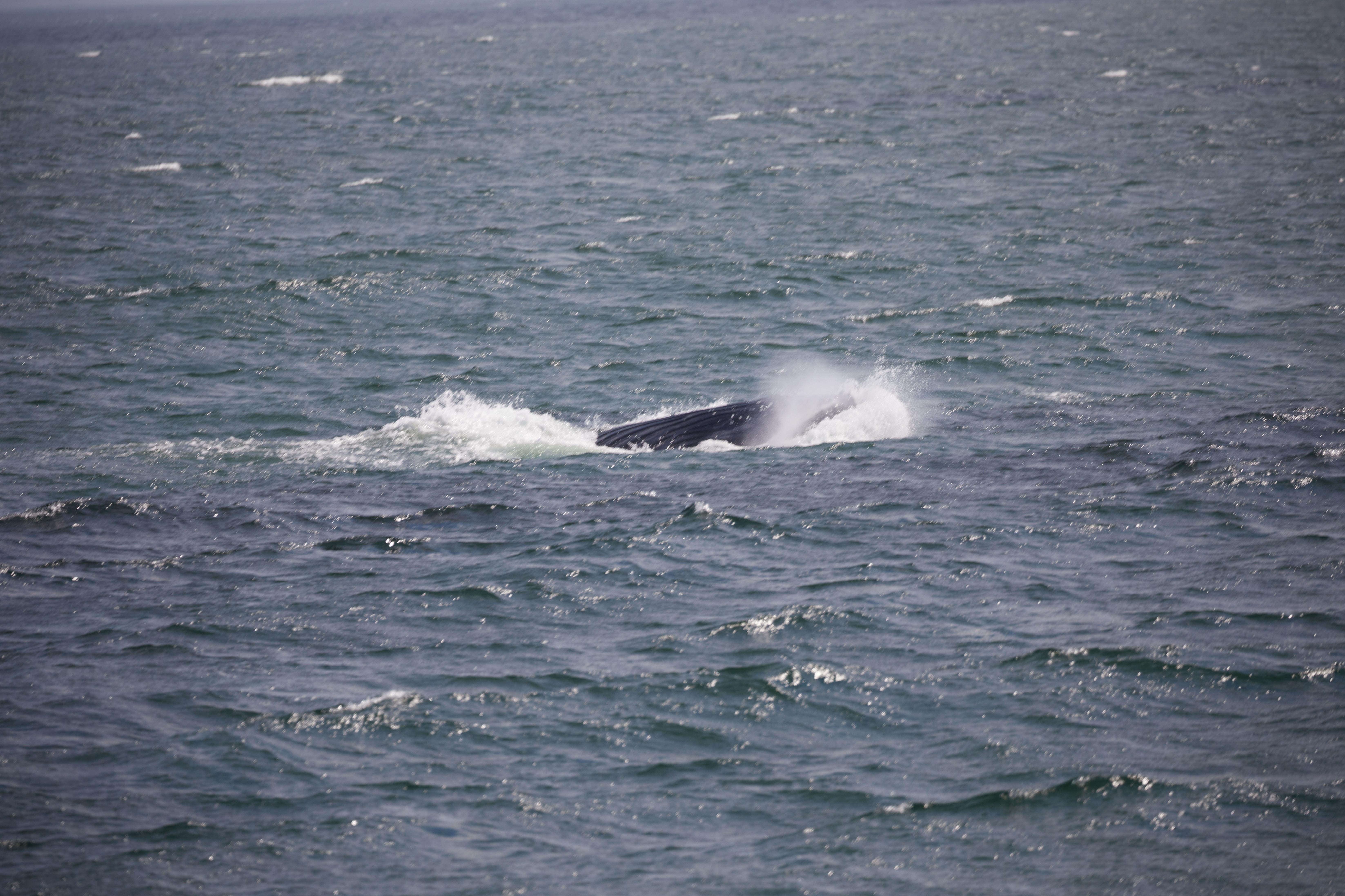 Juvenile humpback whale splashing through water.