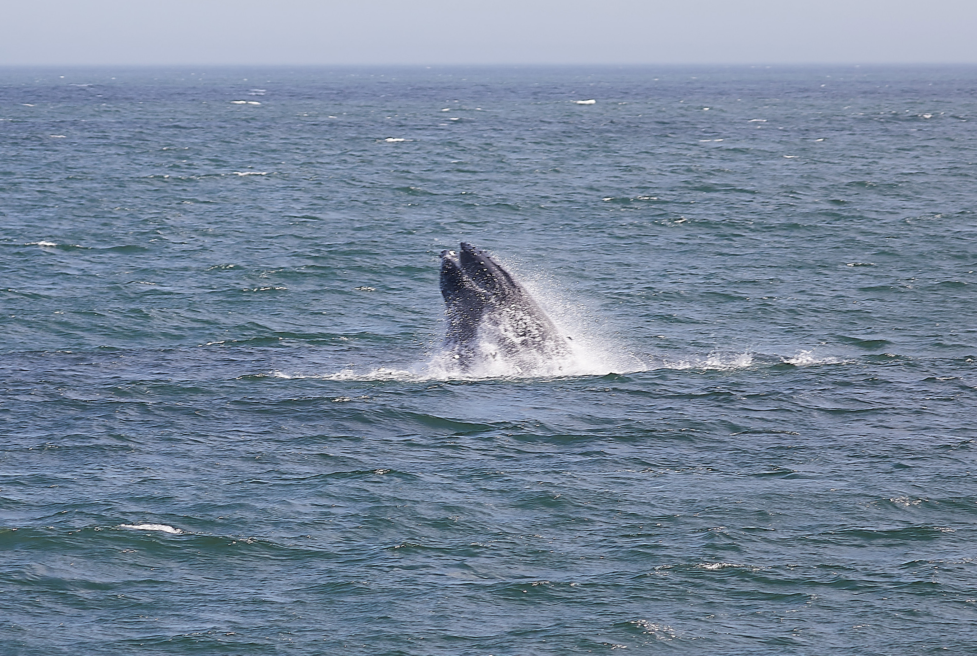 Humpback whale emerging from water.