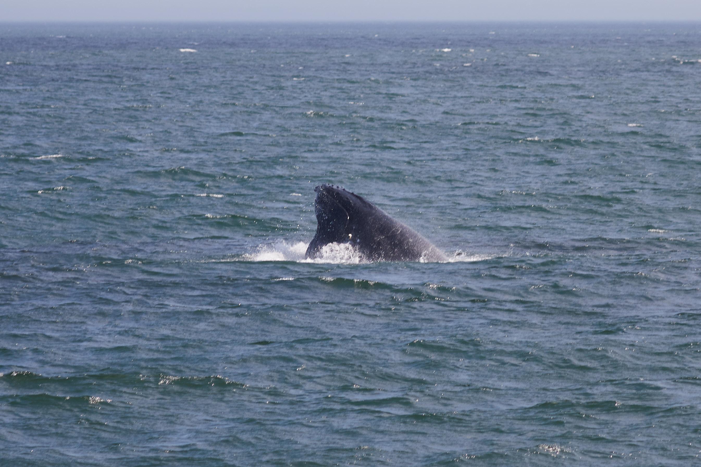 Humpback whale head emerging through water.