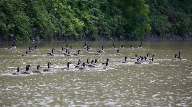 Flock of geese in canal.