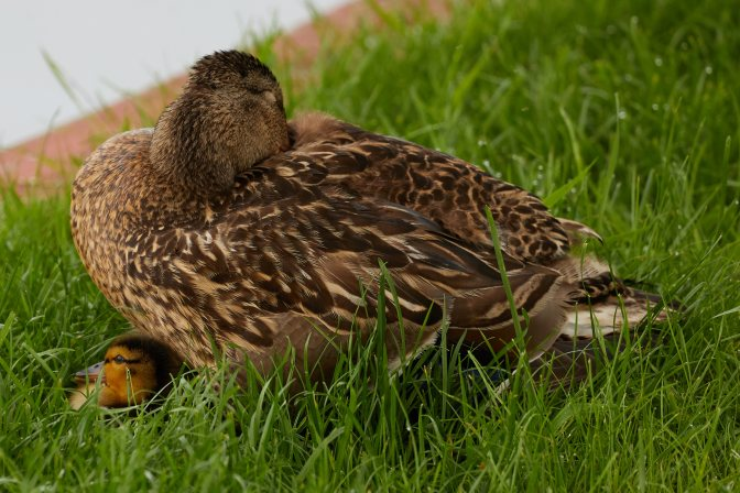 Mother mallard duck, with duckling poking out from beneath it.