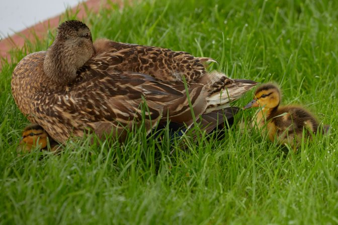 Mallard, with two ducklings around her.
