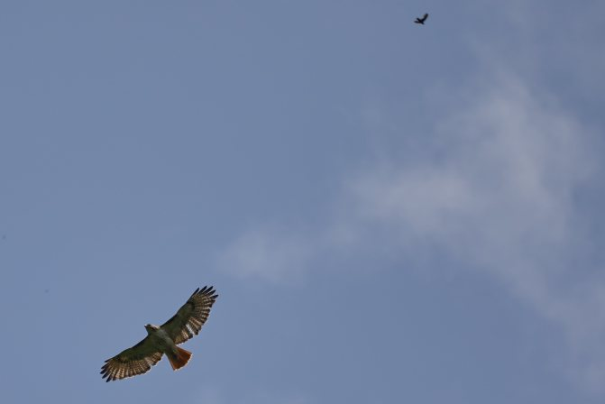 Red-tailed hawk in flight, with another in the distance above.