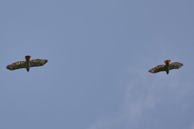 Two red tailed hawks in flight.