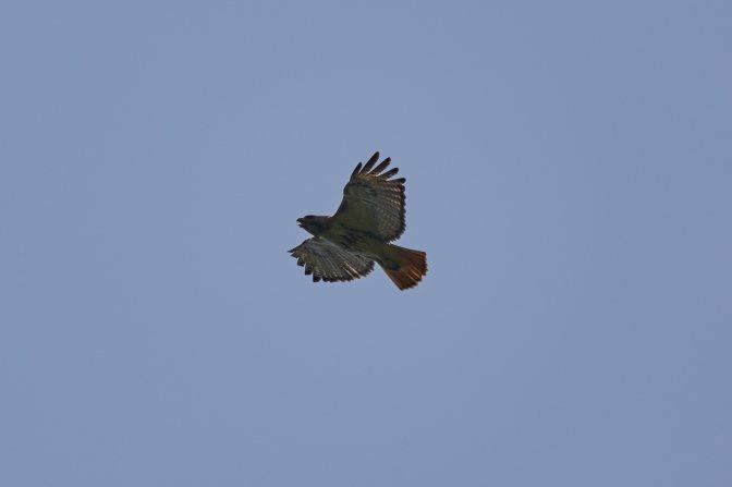 Red-tailed hawk in flight.