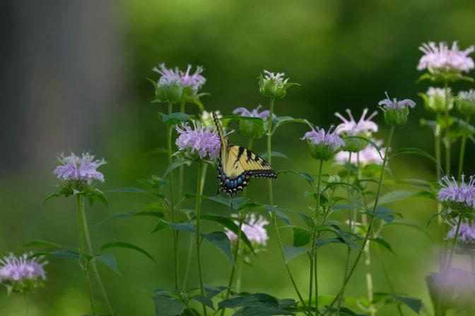 Eastern tiger swallowtail sitting on wildflower.
