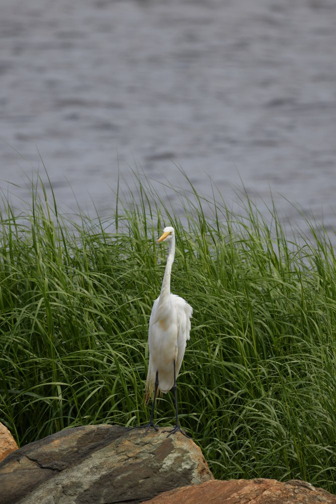 Great Egret standing on rock - bay is in background.