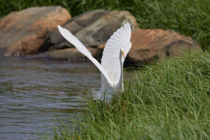Egret landing on grasses.
