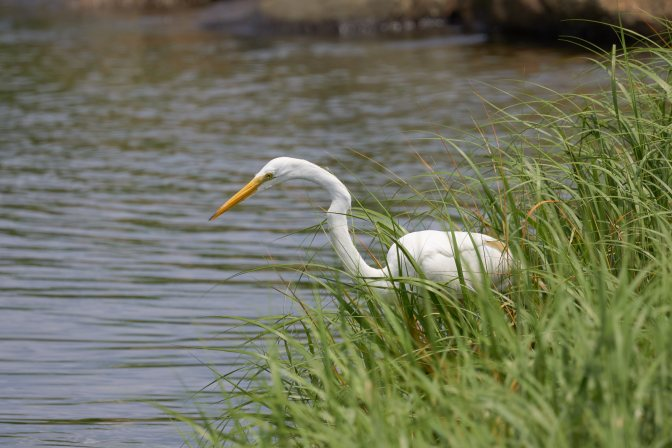 Great Egret staring into water.