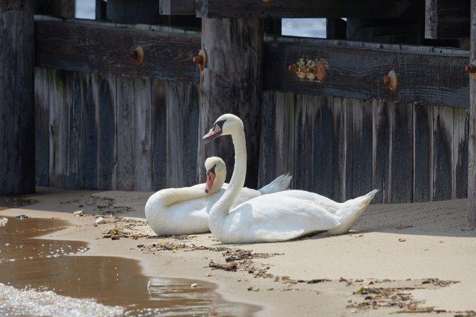 Pair of swans sitting on beach.