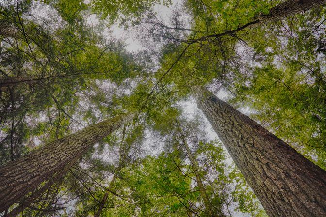 Upward view of pine trees.
