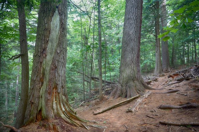 Pine tree trunks in forest.
