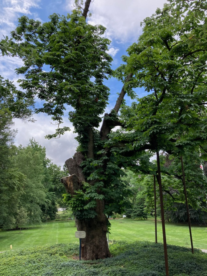 Horse chestnut tree on lawn.
