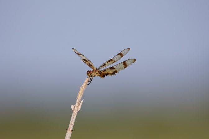 Dragonfly perched on branch.
