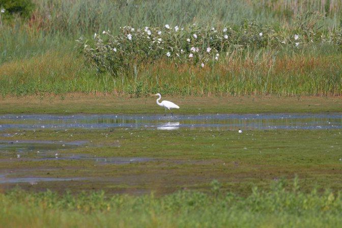 Egret walking in marsh.
