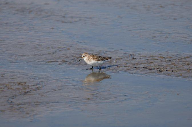 Sandpiper walking through marsh.