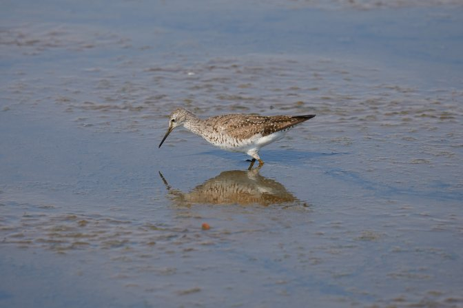 Willet hunting for food in marshland.
