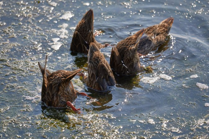 Five ducks tails in air, with heads underwater.