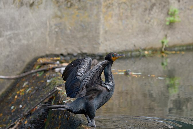 Double-crested cormorant flapping wings.