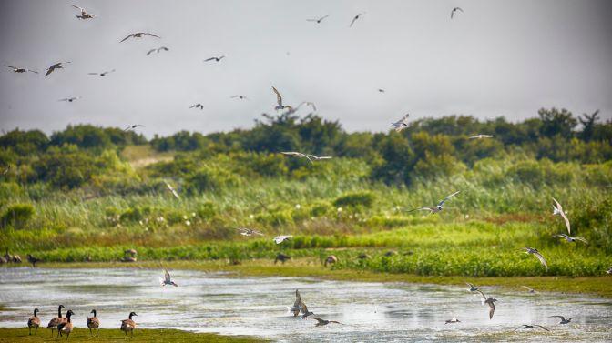 Numerous birds in flight over marshland.