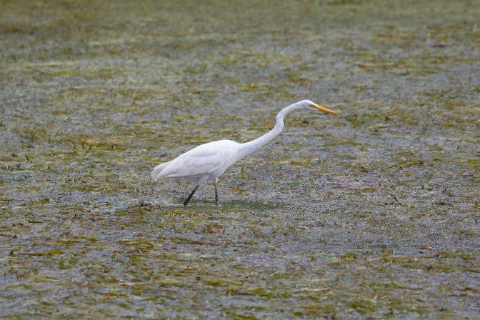 Egret in marshland.