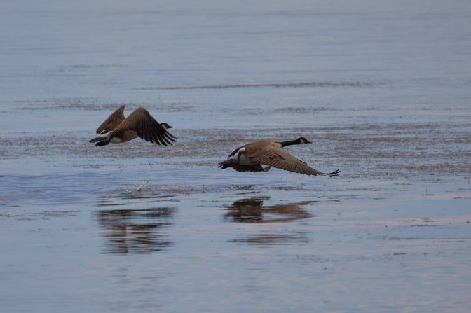 Two Canadien Geese taking flight over water.