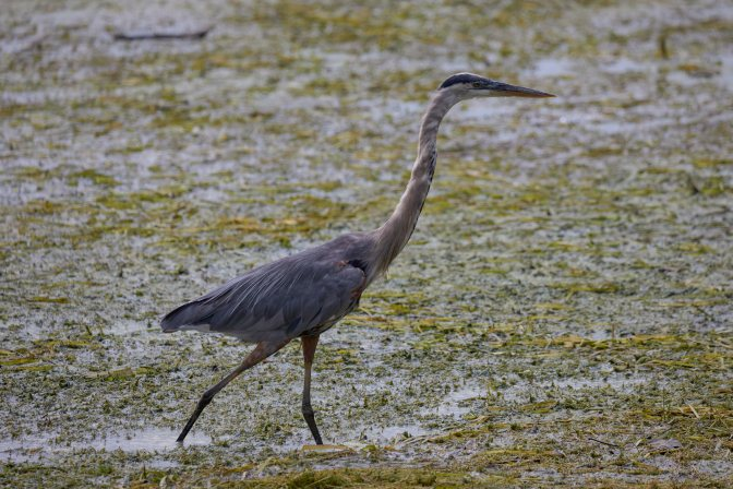 Great Blue Heron in marshland.