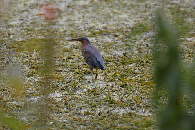 Green Heron in marshland.