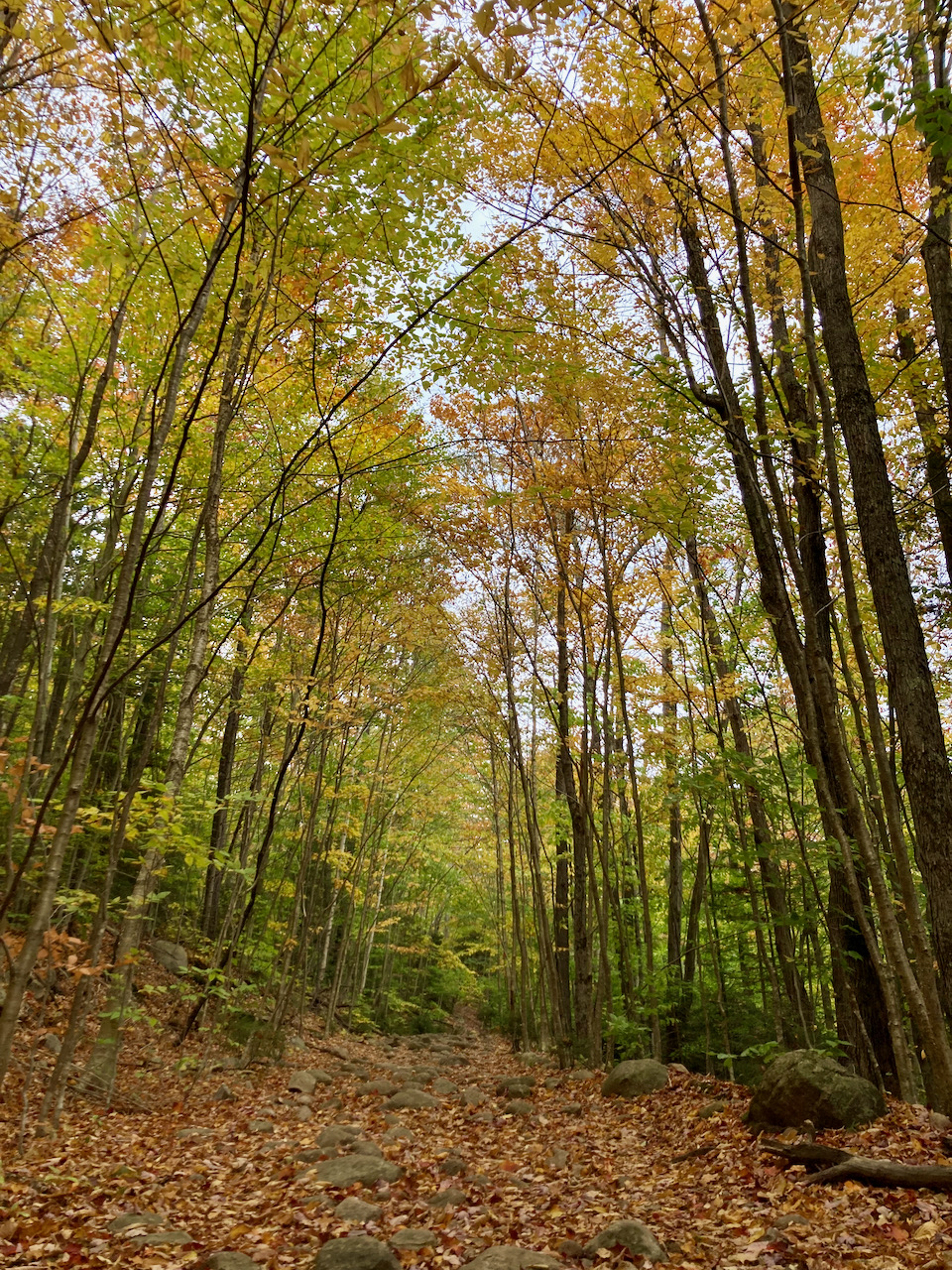 Trees with yellow and orange leaves above forest trail.